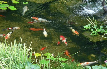 koi's in helder water